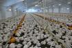 FAIRR вказала на фейки в українських ЗМІ щодо низької якості курятини «Наша Ряба»