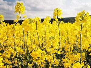Як українським аграріям вийти на рекордні врожаї ріпаку?