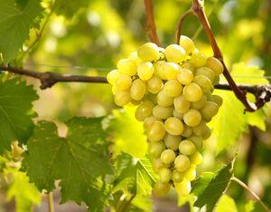 Як черкаським аграріям захистити цього року плодові і виноград?