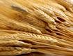 Аграрні експерти: як підвищити урожайність зернових за нинішніх погодних «стресів»?